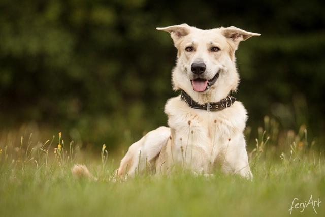 fenjArt hundefotografie - portrait eines liegenden cremefarbenen hundes im liegen auf einer wiese