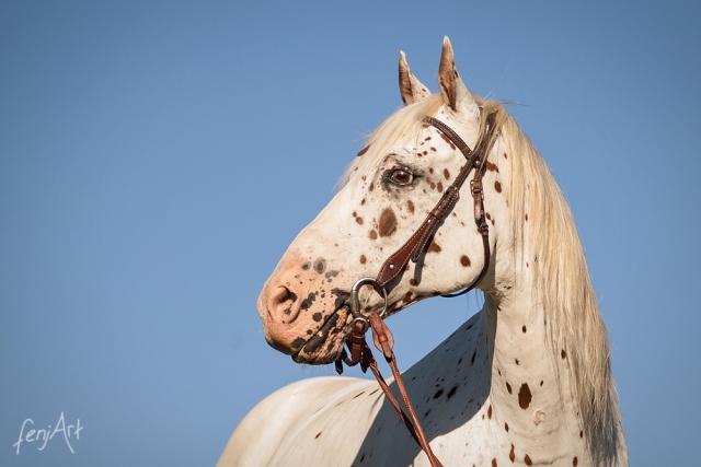 Pferdeshooting mit fenjArt Fotografie Portrait eines gescheckten appaloosa Pferdes vor blauem himmel