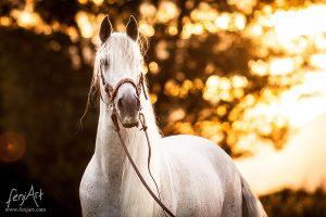 Pferdeshooting mit fenjArt weisses spanisches pferd steht im abendlichen gegenlicht vor einer baumreihe