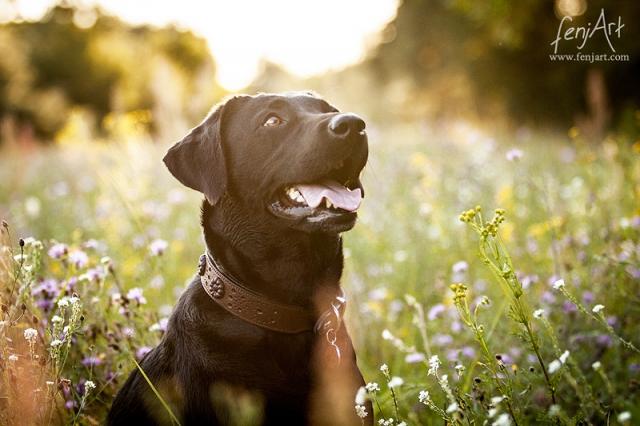 Hundeshooting mit fenjArt Fotografie Labradorhuendin sitzt im abendlicht im hohen gras und blickt hinauf