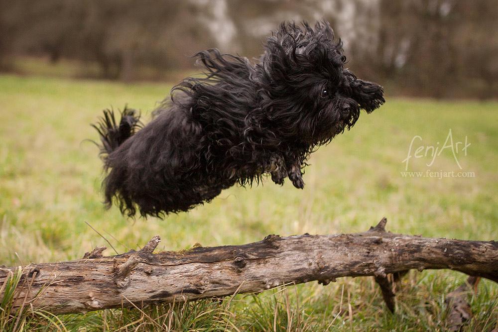 fenjArt hundefotografie kleiner schwarzer hund springt in aschaffenburg ueber einen baumstamm