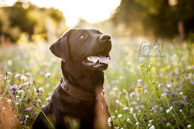 fenjArt hundefotografie schwarze labradorhuendin sitzt in den griesheimer duenen im abendlicht und schaut aufmerksam