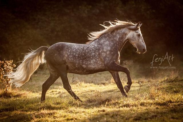 fenjArt Pferdefotografie - PRE Hengst galoppiert abends im gegenlicht ueber eine koppel