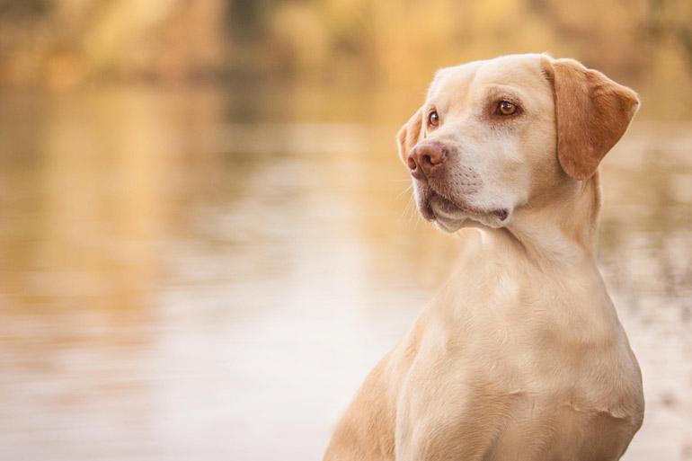 Hundeshooting mit fenjArt Fotografie portrait eines gelben labradors am mainufer in seligenstadt