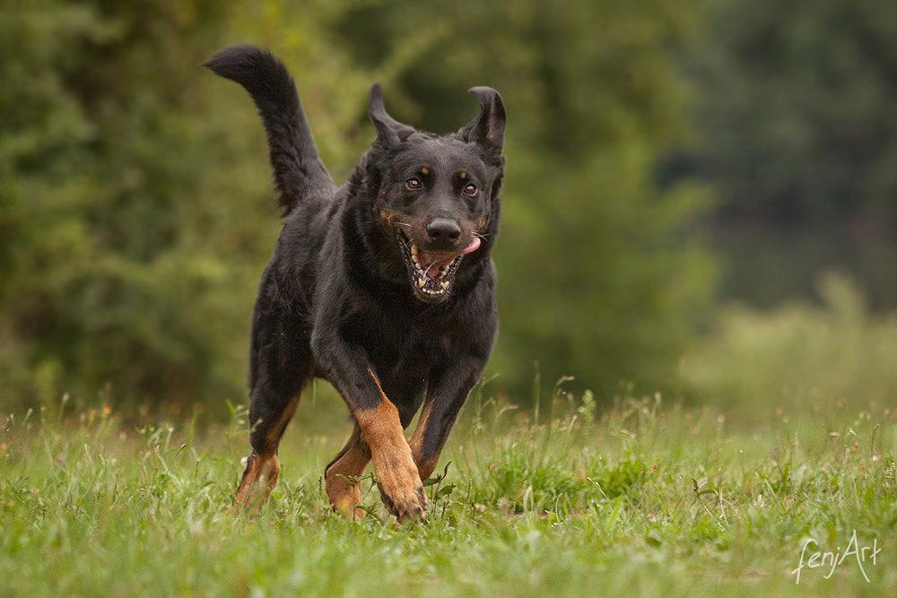 fenjArt hundefotografie - braun-schwarzer rottweiler-mischling rennt ueber eine wiese
