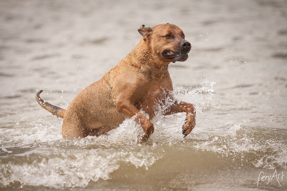 Hundeshooting mit fenjArt Fotografie brauner mischling springt freudig aus dem meer in sankt peter ording