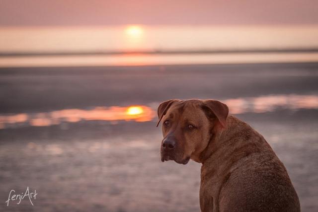fenjArt hundefotografie - brauner mischling blickt sich vor sonnenuntergang um