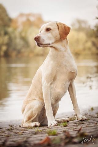 fenjArt hundefotografie - gelber labrador sitzt am flussufer in seligenstadt