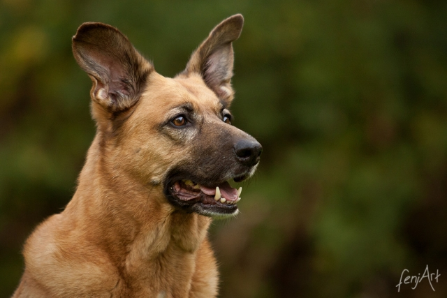 fenjArt hundefotografie - portrait eines schaeferhundes vor gruenem hintergrund