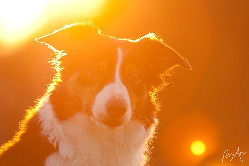 fenjArt hundefotografie - portrait von langhaarigem hund im abendlichen gegenlicht