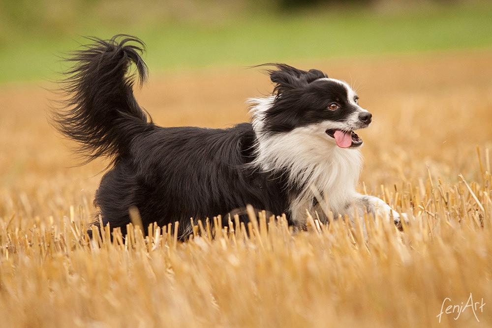 fenjArt hundefotografie - schwarz-weisser toy australian shepherd rennt ueber einen stoppelacker