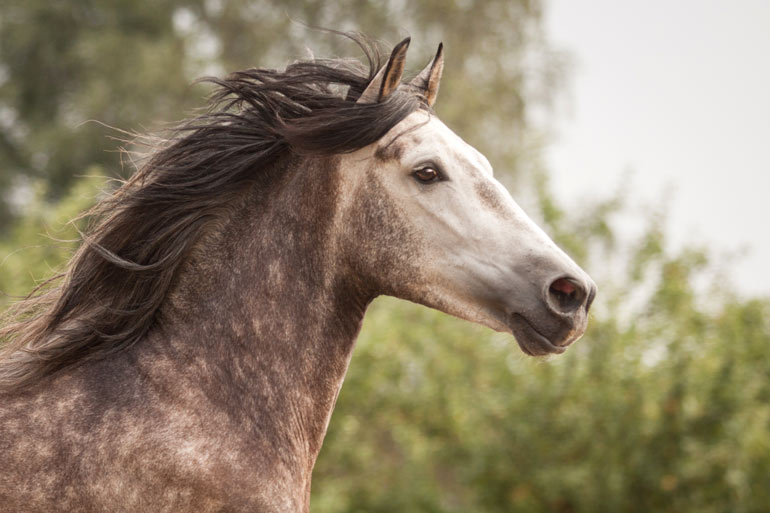 Pferdeshooting mit fenjArt Fotografie spanisches schimmel hengst galoppiert ueber eine weide