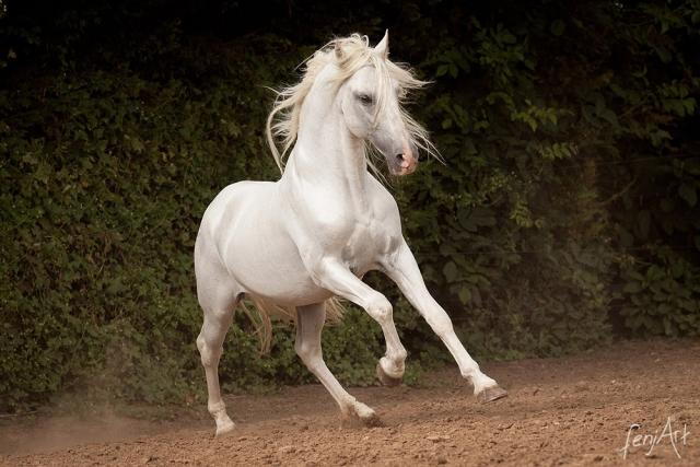 Pferdeshooting mit fenjArt Fotografie PRE galoppiert schwungvoll ueber einen Sandplatz