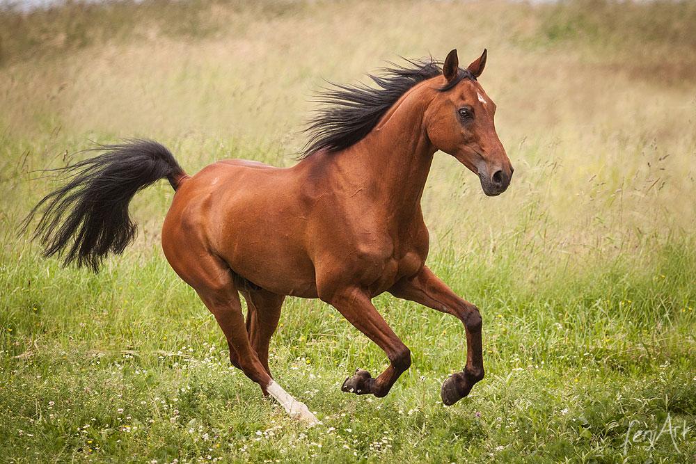 Pferdeshooting mit fenjArt Fotografie arabisches vollblut galoppiert elegant ueber eine weide