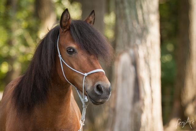 Pferdeshooting mit fenjArt Fotografie Portrait eines braunen islandpferds mit knotenhalfter