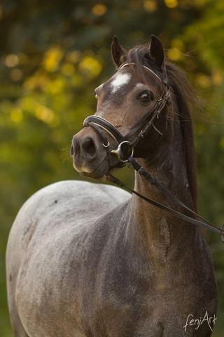 Pferdeshooting mit fenjArt Fotografie Portrait eines aufgeregten braunen Reitponys