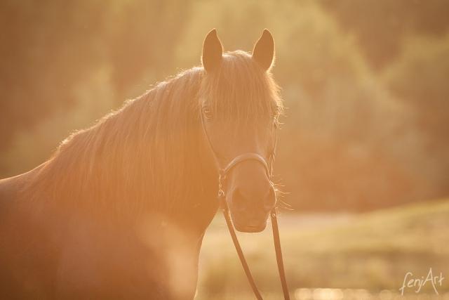 Pferdeshooting mit fenjArt Fotografie portrait eines dunkelbraunen huzulenpferds im abendlichen Gegenlicht