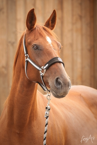 Pferdeshooting mit fenjArt Fotografie portrait von einem fuchsfarbenen pferd vor einer holzwand