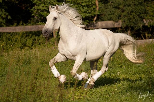 Pferdeshooting mit fenjArt Fotografie ein weisser lippizaner galoppiert uebe seine weide