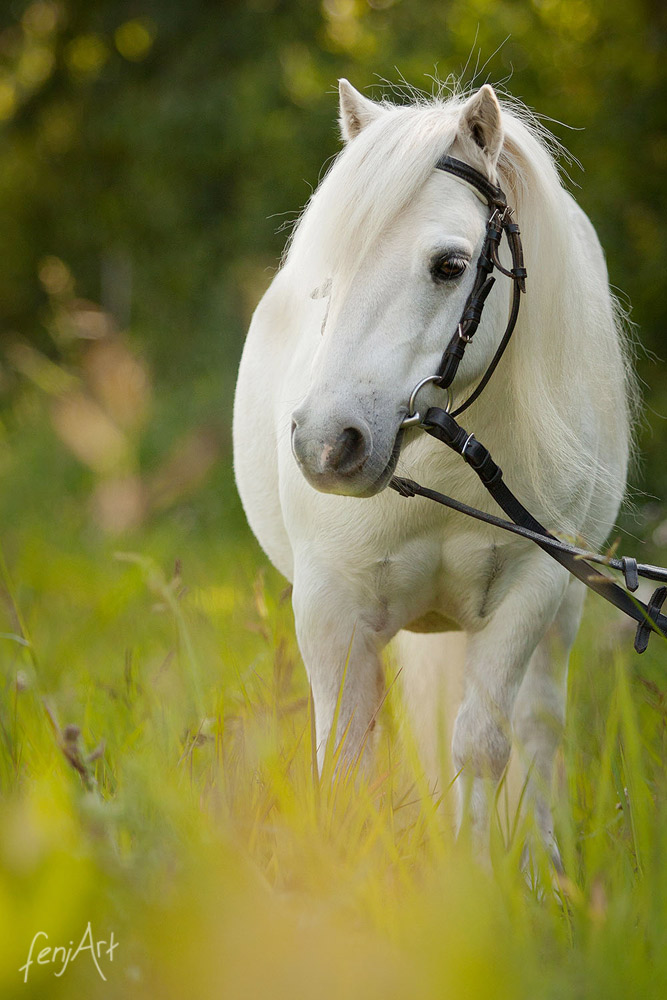 Pferdeshooting mit fenjArt Fotografie ein weisses shetland pony steht im hohen gras