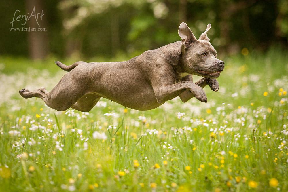 fenjArt hundefotografie - american staffordshire terrier huendin fliegt ueber eine blumenwiese in hanau wilhelmsbad