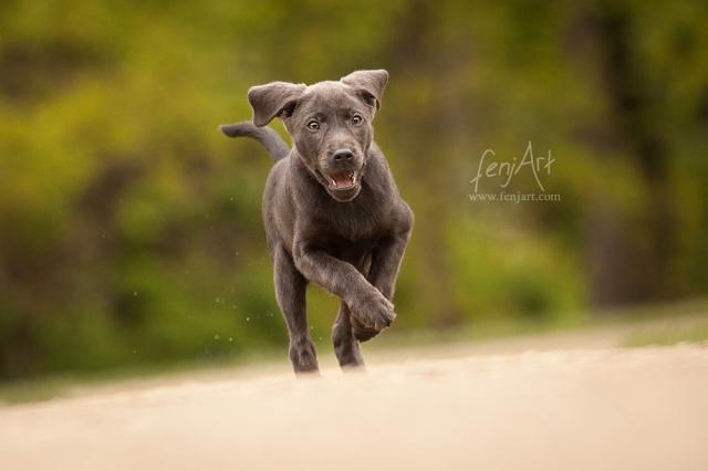 fenjArt hundefotografie - grauer labrador welpe rennt ueber hellen boden in hanau wilhelmsbad