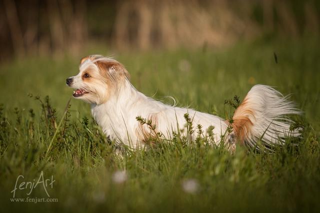fenjArt hundefotografie kleine wuschelige huendin springt in frankfurt an der nidda durchs hohe gras