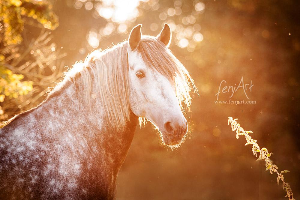 Pferdeshooting mit fenjArt Fotografie Portrait eines Andalusier Schimmels im Abendlicht