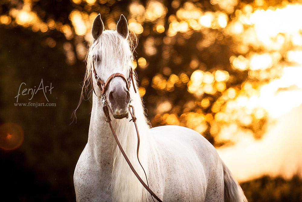 pferdeshooting mit fenjArt weisses andalusisches pferd steht im abendlicht auf einer weide